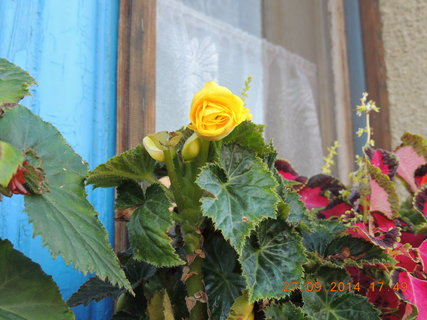 FOTKA - Žlutá begonka na okně 27.9. 2014