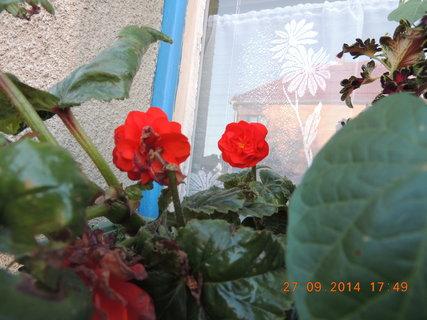 FOTKA - Červená drobnokvětá begonka na okně 27.9.2014