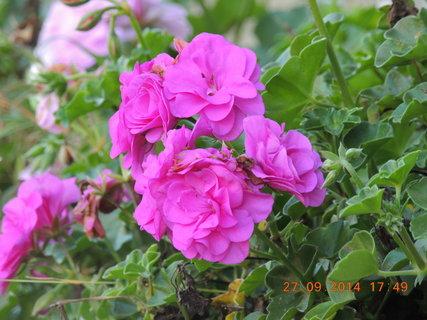FOTKA - Růžový muškát na okně 27.9. 2014