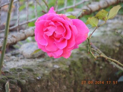 FOTKA - Růžová růžička 27.9. 2014