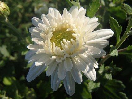 FOTKA - biela chryzantéma