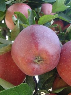 FOTKA - úroda jabĺčok