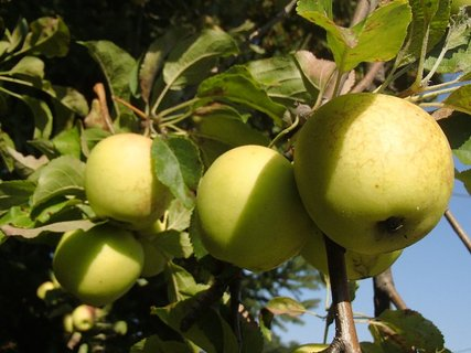 FOTKA - citrónky dozreli