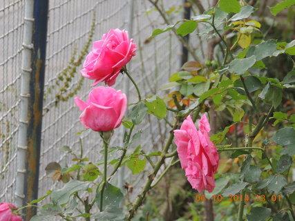 FOTKA - Růžová růžička 6.10. 2014