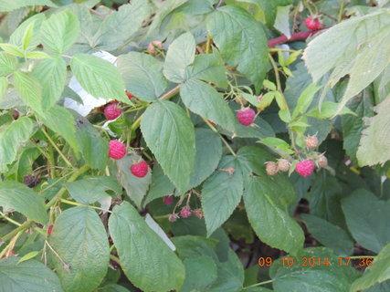 FOTKA - Maliny na zahradě 9.10. 2014