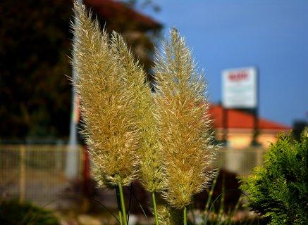 FOTKA - Kvetoucí travina v zahrádce