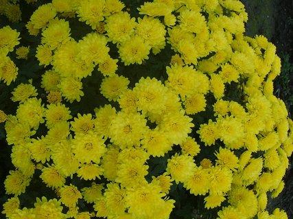 FOTKA - záplava žltých kvetov