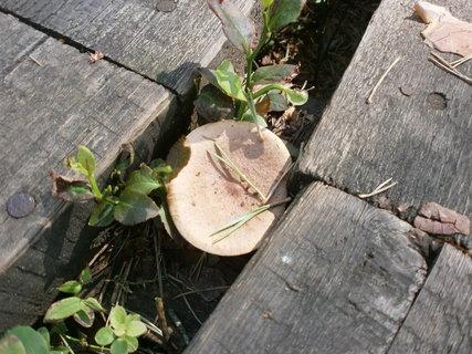 FOTKA - houbička mezi prkny povalového chodníku