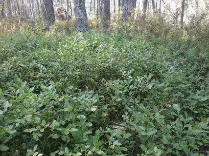 FOTKA - borůvky na naučné stezce Červené blato