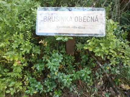 FOTKA - Brusinka obecná