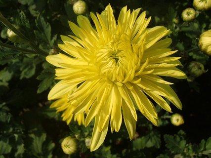 FOTKA - kvet žltej chryzantémy