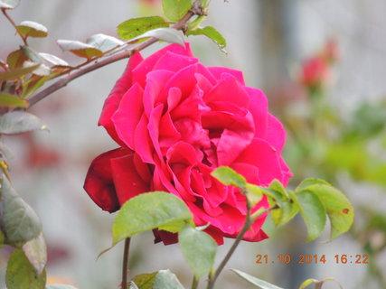 FOTKA - Červená růžička 21.10.