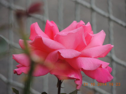 FOTKA - Růžová růžička 21.10. 2014