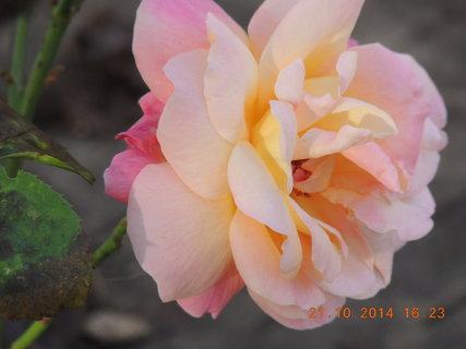 FOTKA - Několika barevná růžička 21.10.