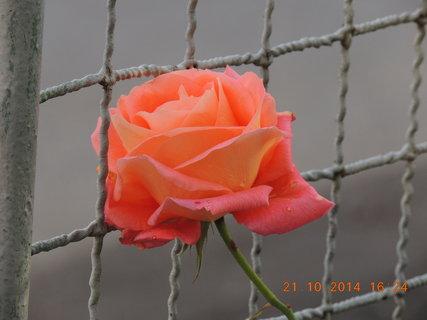 FOTKA - Oranžová růžička 21.10. 2014