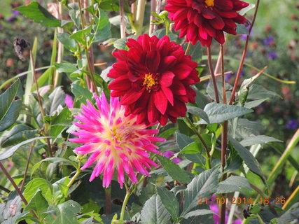 FOTKA - Poslední květy jiřinek 21.10. 2104