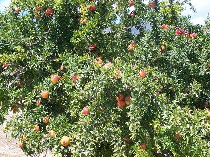 FOTKA - Granátová jablka