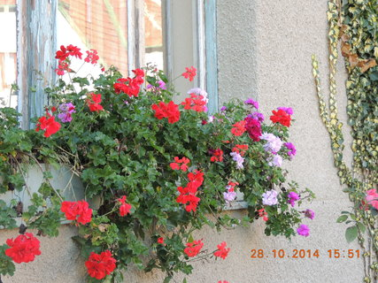 FOTKA - Muškáty na okně z obyváku do ulice 28.10. 2014