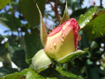 FOTKA - na puku ruže