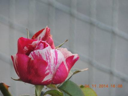 FOTKA - Růže ´Henri Matisse´ 4.11. 2014