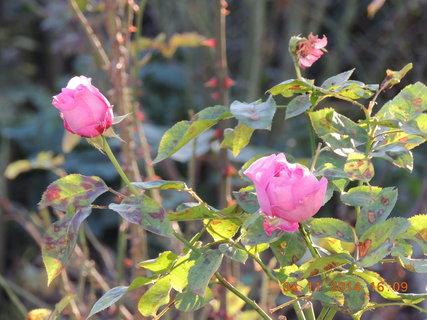 FOTKA - I přes silnou skvrnitost stále kvetou 4.11. 2014