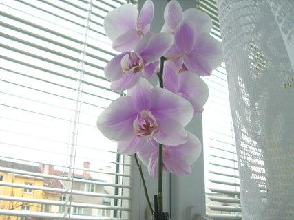 FOTKA - Nevěděla jsem že orchideje tak dlouho kvetou