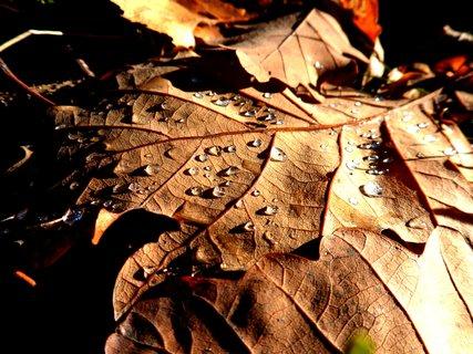 FOTKA - List dubu s krůpějěmi rosy.
