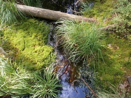 FOTKA - rašeliník a trsy suchopýru
