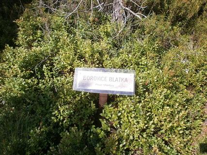 FOTKA - nádherně zelené borůvčí kolem Borovice blatky