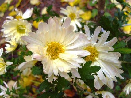 FOTKA - jednoduché světlé chryzantémy