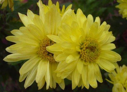 FOTKA - žluté chryzantémy