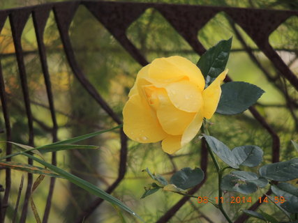 FOTKA - Růže žlutá 8.11. 2014