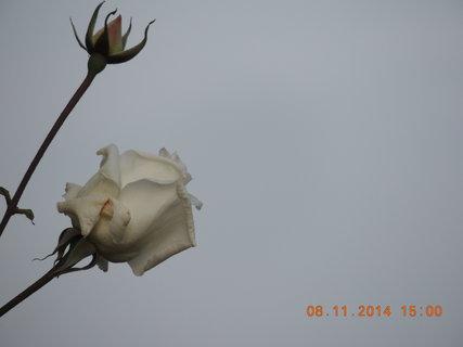 FOTKA - Bílá růže s poupátkem 8.11. 2014