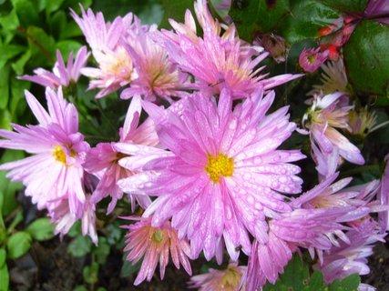 FOTKA - růžové chryzantémy po dešti