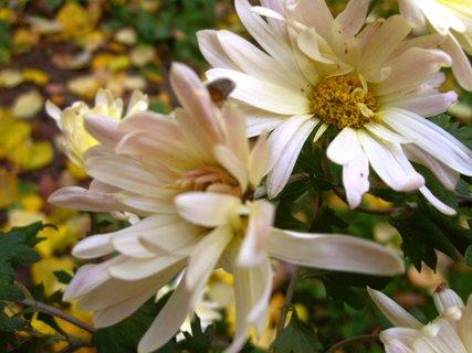 FOTKA - světlé jednoduché chryzantémy