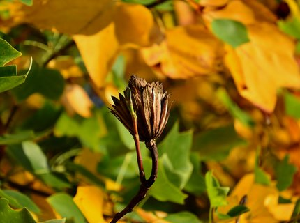 FOTKA - Liliovník tulipánokvětý v podzimníchbarvách