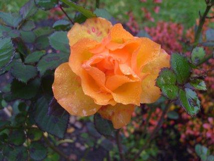 FOTKA - listopadová růžička