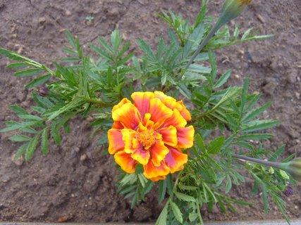 FOTKA - kvetoucí afrikán