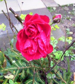 FOTKA - vytrvalá růže