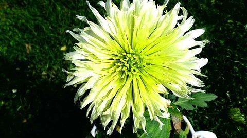 FOTKA - Bílozelenožlutá kráska