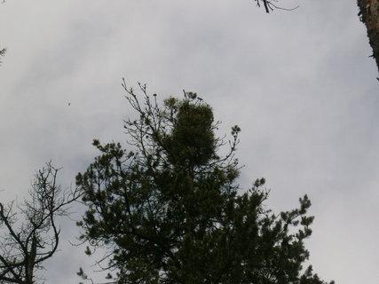 FOTKA - jmelí na borovici