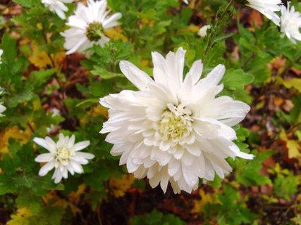 FOTKA - chryzantémy na zahradě