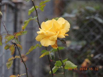 FOTKA - Žlutá růže 20.11. - Novošlechtění