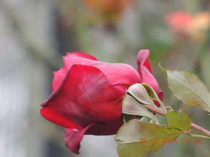 FOTKA - Červené poupátko růže 20.11. 2014