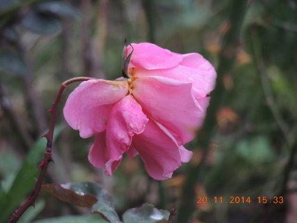 FOTKA - Růžová růžička už dokvétá