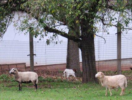 FOTKA - Burgfarnbach..statek..ovce