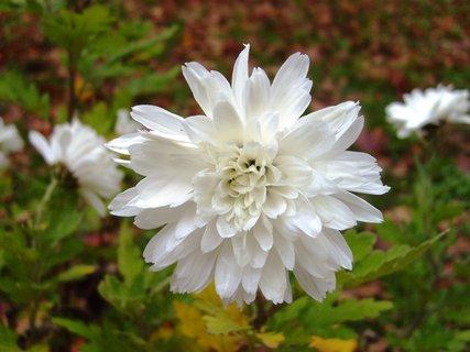 FOTKA - detail květu bílé chryzantémy