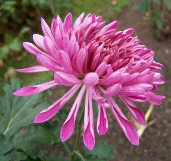 FOTKA - poslední chryzantéma na zahradě