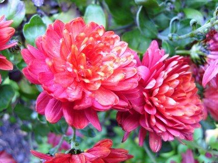 FOTKA - červené  -  detail květů