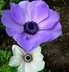 sasanky fialová,bílá